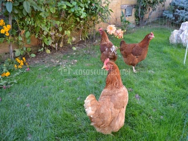 Las gallinas ecológicas