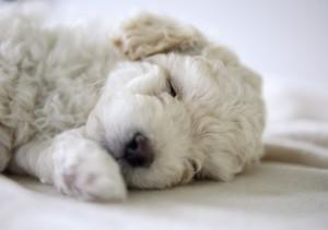 Cachorro echandose una siesta