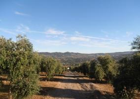Camino de olivos