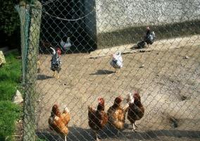 Gallinero con gallinas y gallo