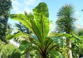 Detalle de una palmera con grandes hojas