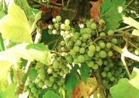 Uvas en el jardín
