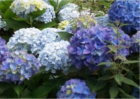 Hortensias en el jardin