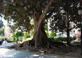 Árbol del jardín de Floridablanca en Murcia
