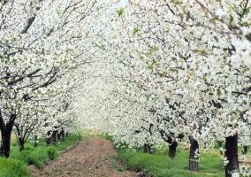 Paseo de cerezos en flor en el Valle del Jerte