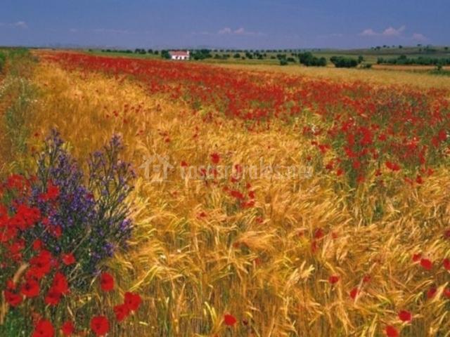 Campos con flores a todo color de la Ossa de Montiel