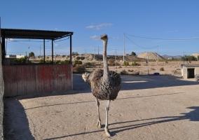 Nuestra avestruz Isidora