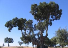 Alcornoque centenario