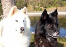Los perros blanco y negro