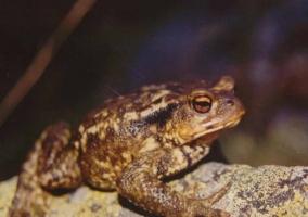 Sapo de gredos una especie autóctona de la Sierra de Gredos