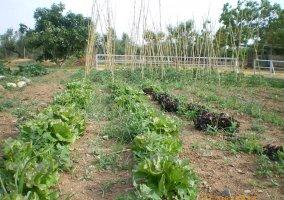 Hortalizas plantadas en el huerto
