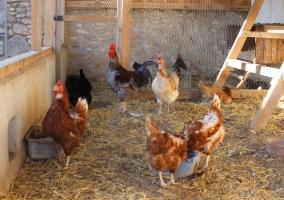 granja gallinas