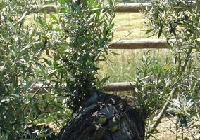 Detalle del olivo en el jardin