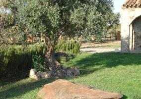 Piedra y olivo en el jardin