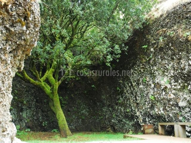 El árbol Garoé