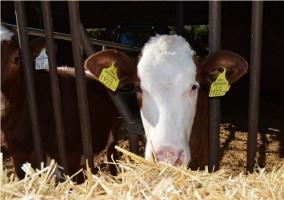Vaca de la finca de la casa rural
