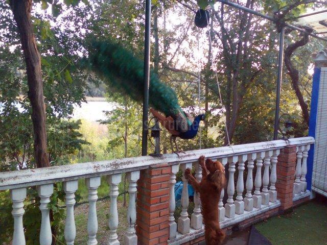pavo real y truffus en terraza