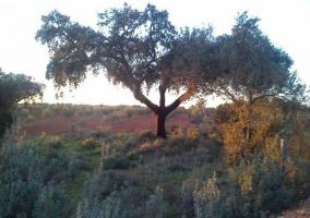 Vistas de nuestros árboles en la dehesa