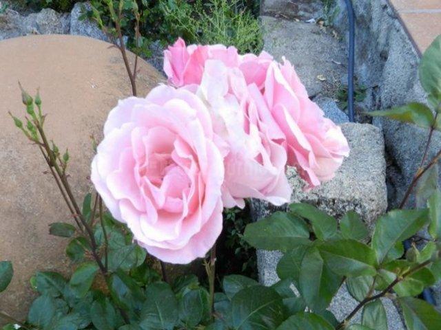 Vistas de los exteriores con flores rosas