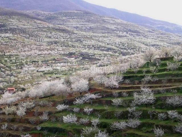 Vista de las vegas en escala del cerezo en flor