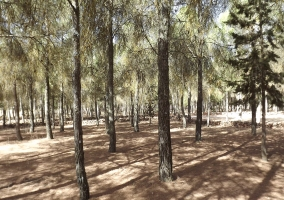 Inmenso pinar