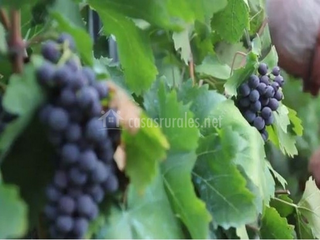 Vistas de las uvas con las que elaboramos nuestros caldos