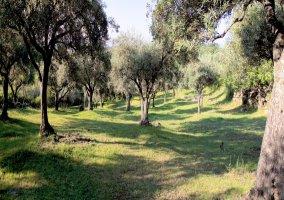 El olivar