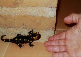 Cuando llueve ¡salamandras!