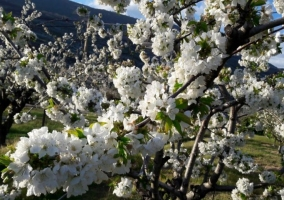 Vistas de los cerezos en el exterior