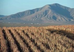 Cultivos de Aloe Vera en el pueblo