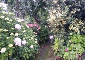 Hortensias del jardín