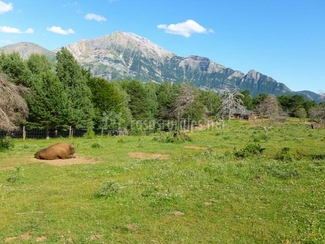 Bisonte en el parque Lacuniacha