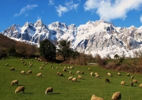 Ovejas pastando en Los Picos de Europa