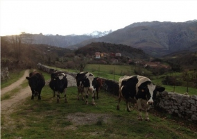 Vacas en las proximidades de la casa