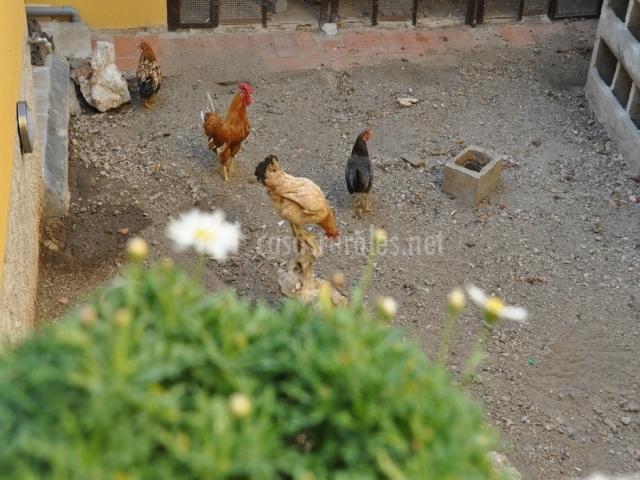 Gallos y gallinas en el recinto de la casa rural