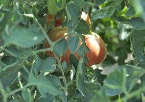 Huerto con tomates y otras hortalizas dentro de la finca