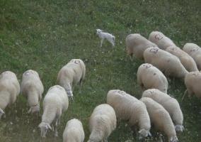 Lechales pastando en el campo